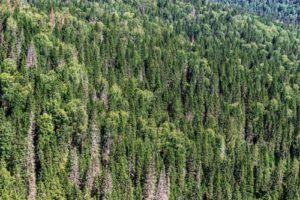 foresta abete nordico